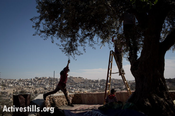 A girl plays as a Palestinian man harvests his olive trees in the Tel Rumeida neighborhood in the West Bank city of Hebron, October 24, 2013.