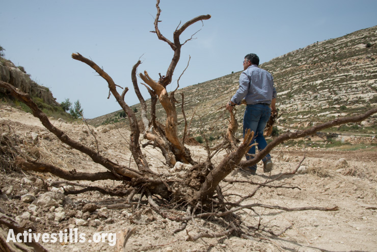 "Daoud Nassar inspects the destruction of his family's grove of some 1,500 fruit trees near the West Bank village of Nahalin, June 3, 2014. On May 19, Israeli forces bulldozed the family's groves, which contained mature apricot, apple, grape, almond, and fig trees planted 10 years previous. The army claims that it is state land, but the Nassar family has documents proving ownership of their land, also known as ""Tent of Nations"" dating back to the Ottoman period. The family's land is virtually surrounded by the Gush Etzion settlement bloc which, like all settlements in the occupied Palestinian territories, is illegal under international law. (Activestills.org)"