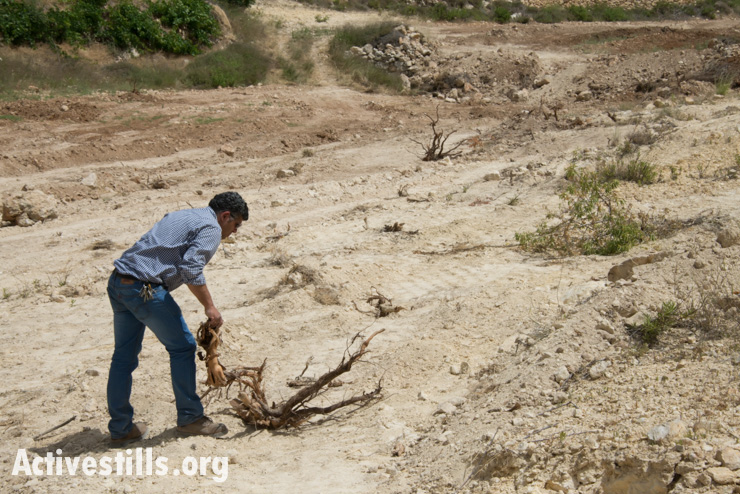 Daoud Nassar inspects the destruction of his family's grove of some 1,500 fruit trees near the West Bank village of Nahalin, June 3, 2014.