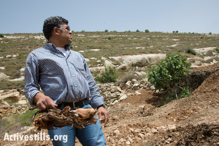 Daoud Nassar stands near a lone fig tree, the only tree remaining standing after Israeli authorities bulldozed his family's grove of some 1,500 fruit trees near the West Bank village of Nahalin, June 3, 2014.