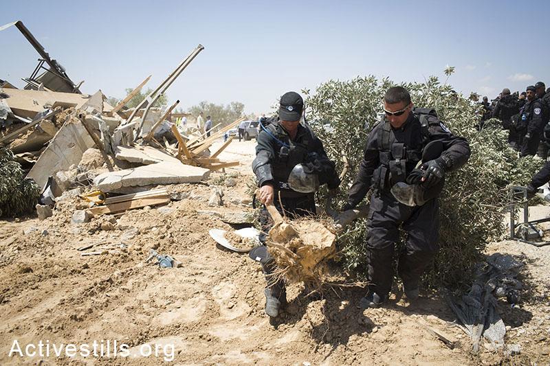 Israeli authorities carry uprooted olive trees in Al-Arakib, June 12, 2014. (Oren Ziv/Activestills.org)