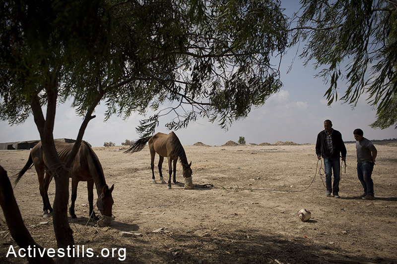 A resident of the unrecognized village of Al Arakib takes care of his horses, July 20, 2014. An Israeli court ordered the residents on Sunday to leave the village the following week. The village has been demolished by the Israeli authorities over 70 times, and the local residents are sleeping in the open air inside the graveyard of the village. (Oren Ziv/Activestills.org)