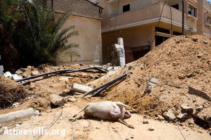 A dead animal in the village of Khuza'a, east of Khan Younis August , 2014.