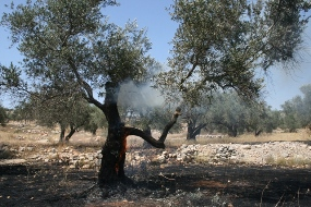 A tree in Bil'in burning after tear gas was fired in the area (Haggai Matar)
