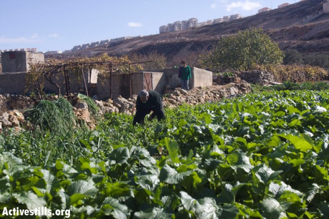 A farmer in the fertile lands of Wadi Fukin. Background: Betar Illit (Oren Ziv / Activestills)