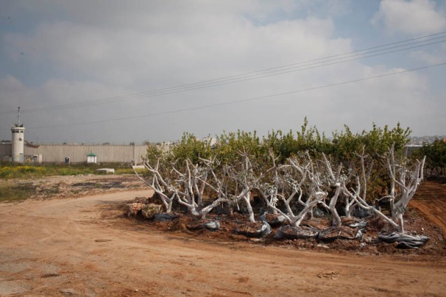 Uprooted trees outside the Qalqilia wall. 12,000 have been uprooted for its construction in this area alone (Oren Ziv / Activestills)
