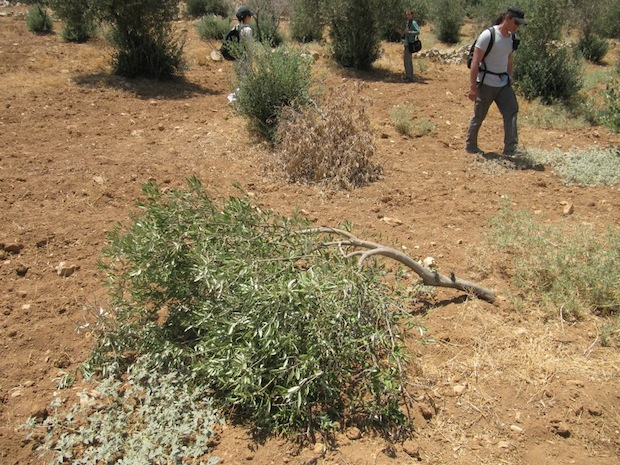 WATCH: Olive trees destroyed by settlers in South Hebron Hills
