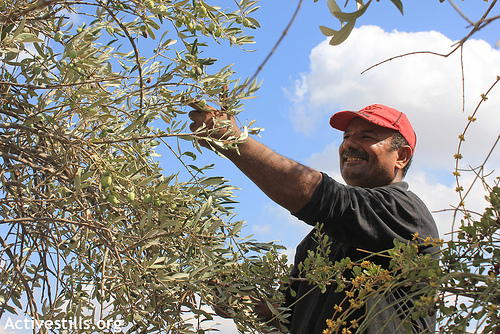 A Palestinian picks olives during the olive harvest season in the West Bank village of Zawiya near Salfit, October 5, 2012. In 1999, at least 3,000 dunums of village land were lost in order to build the Trans-Samaria Highway (Route 5) connecting the Ariel settlement with the Israeli coastal areas. More than 30,000 olive, almond and carob trees were uprooted in these most fertile areas of the village. (photo: Ahmad Al-Bazz/Activestills.org)