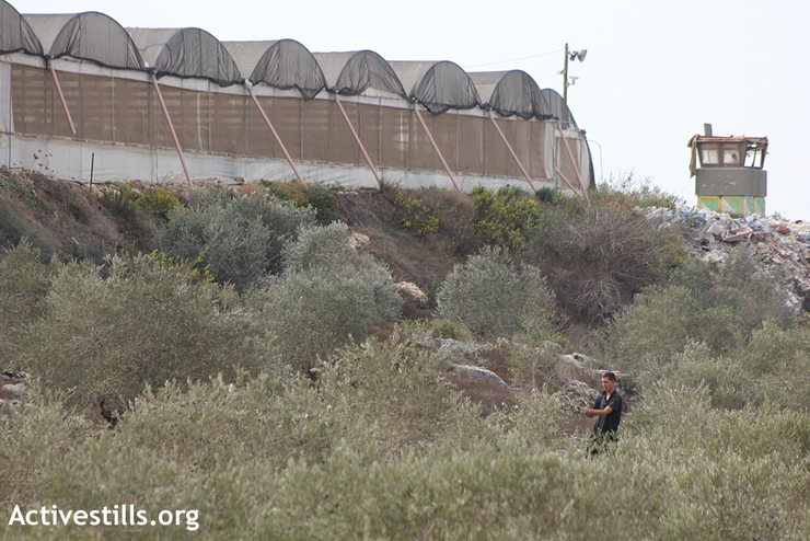 A Palestinian farmer picks olives under Israeli greenhouses from the illegal settlement of Kedumim, during the olive harvest season in the West Bank village of Kfar Qadum, near Qalqiliya, October 24, 2012. (photo by: Ahmad Al-Bazz/Activestills.org)