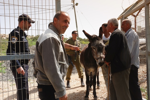 Caught red-handed: Settlers steal Palestinians' donkey