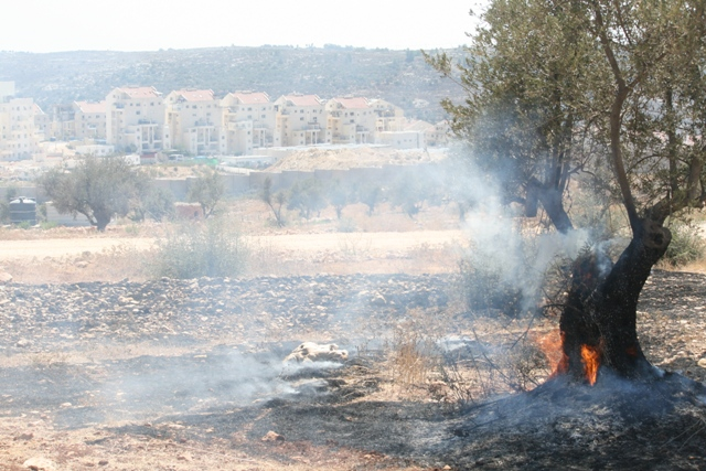 Olive tree on fire. A common sight in West Bank summer demonstration. (Haggai Matar)