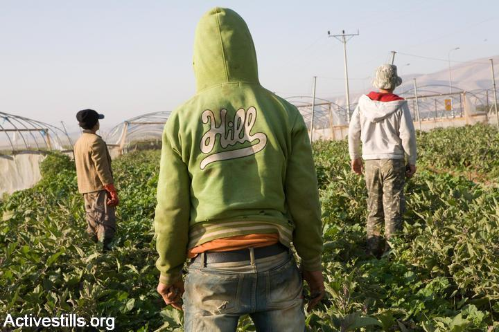 Palestinian youth working under precarious conditions, under the minimum wage on plantations in the Jewish settlement of Ma'ale Efrayim, Jordan Valley, March 21st, 2009. (Photo: Keren Manor/Activestills.org)