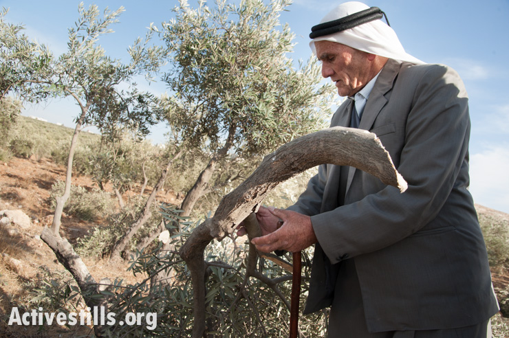 Abed Rabo Jedua inspects damage to his olive trees, which were destroyed by Israeli civilians, in the West Bank village of Tuqu', November 25, 2013. (photo: Ryan Rodrick Beiler/Activestills.org)