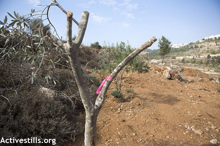 A ribbon placed by the Israeli authorities marks an olive tree they plan to uproot in order to build a new road in Al Walaja village, West Bank, November 12, 2013. Ten olive trees have already been uprooted, After which land owners replanted them. (photo: Anne Paq/Activestills.org)