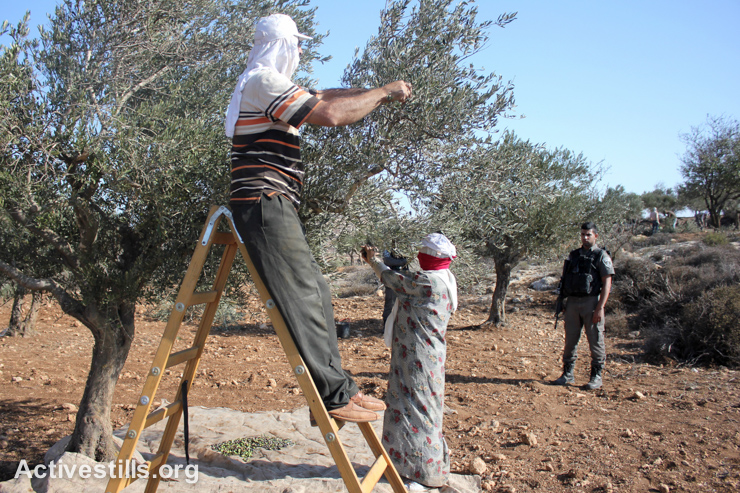 Israeli soldiers watch Palestinian farmers harvest olives in Salem village, near Nablus, West Bank, October 9, 2014. Palestinian farmers who have olive groves near Israeli settlements, army bases or bypass roads are restricted in their access to their land. This year, Salem villagers were allowed to harvest their land for only five days.