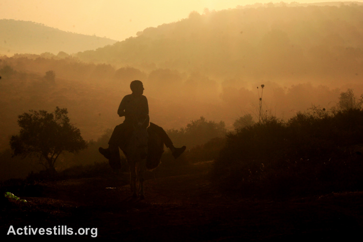 A Palestinian rides a donkey toward olive groves in the early morning hours before the harvest.