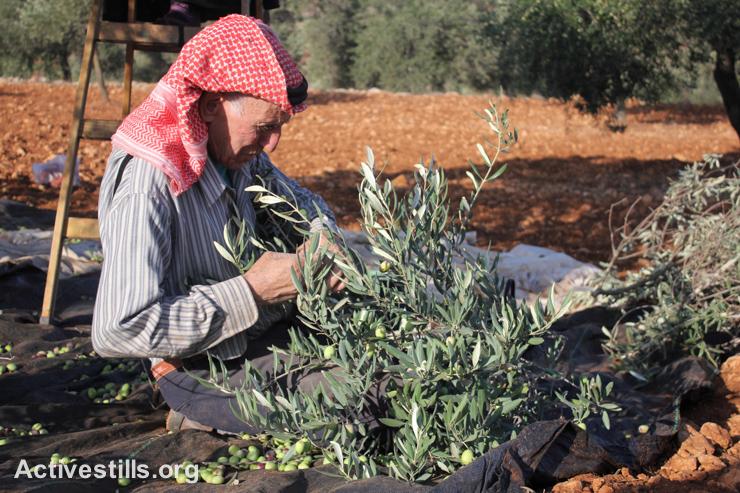 A Palestinian man harvests olives in Salem village, near Nablus, West Bank, October 9, 2014.