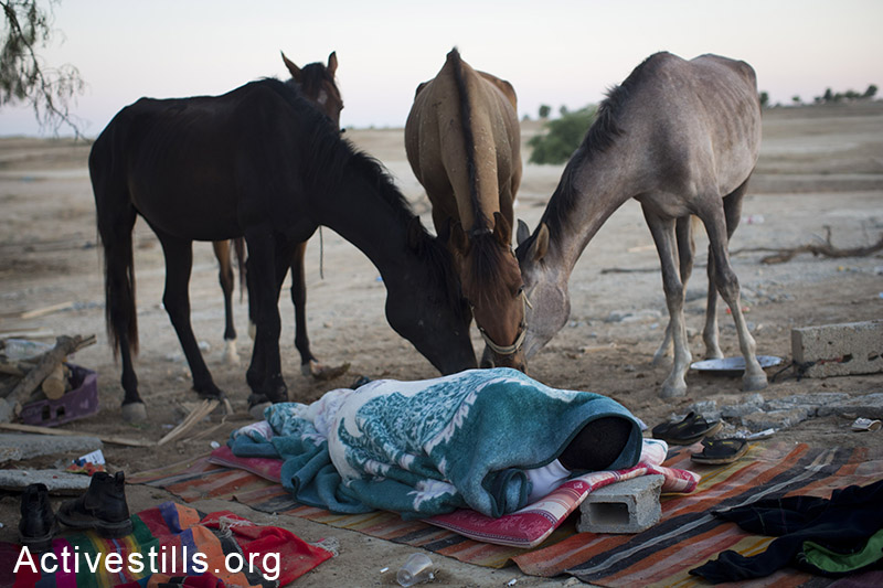 Horses eat leftovers of food as a Bedouin men sleeps on the ground in the unrecognized Bedouin of Al Araqib, in the Negev desert, three days after the entire village was demolished by the Israeli authorities, June 15, 2014. Israeli authorities have demolished the village over 70 times since 2010. On June 12, 2014, for the first time, Israeli forces entered the village cemetery, demolishing its mosque and all the houses, which local residents built after the first demolition. By: Oren Ziv/Activestills.org   Read more about Bedouin home demolitions and about Al Araqib.