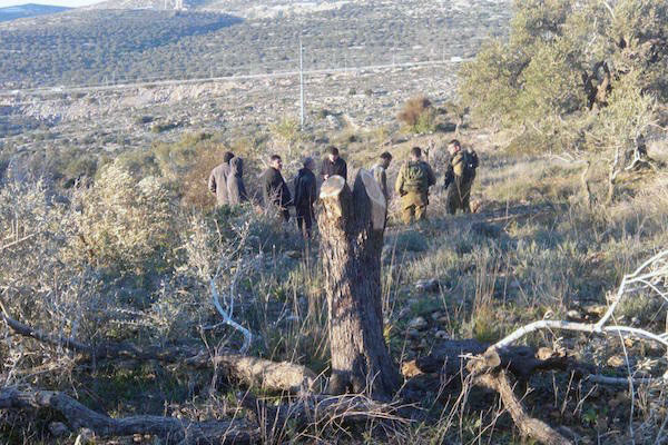Vandalized trees in the West Bank village of Yasuf, January 11, 2015. (Photo by Zakariya Sadeh/Rabbis for Human Rights)