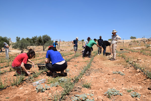 All That's Left activists planting working on the za'atar field in Susya, June 13, 2015. (Photo: Michael Schaeffer Omer-Man)