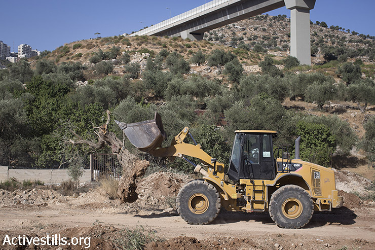 An Israeli bulldozer carries uprooted olive trees to make way for Israel's separation wall, in the West Bank town of Beit Jala near the Jewish settlement of Gilo and adjacent to the biblical Palestinian town of Bethlehem on August 20, 2015. (photo: Oren Ziv / Activestills.org)