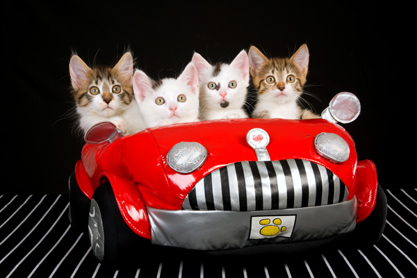 Kittens being driven from their homeland. (Illustrative photo by Shutterstock.com)