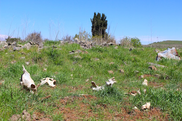 Animal bones litter the fields at the site of the destroyed Syrian village of Mansura, Golan Heights, April 2, 2016. (Natasha Roth)
