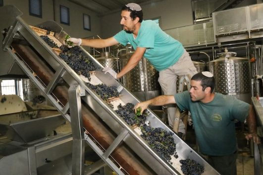 Jewish settlers clean the newly harvested grapes at a winery in the West Bank settlement of Gush Etzion, September 8, 2014. (Gershon Elinson/Flash90)