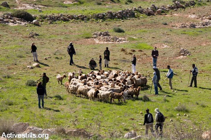 Israeli activists from Ta'ayush accompany Palestinian shepherds to protect them from settler violence and military harassment, South Hebron Hills, West Bank, March 15, 2008. (Keren Manor/Activestills.org)