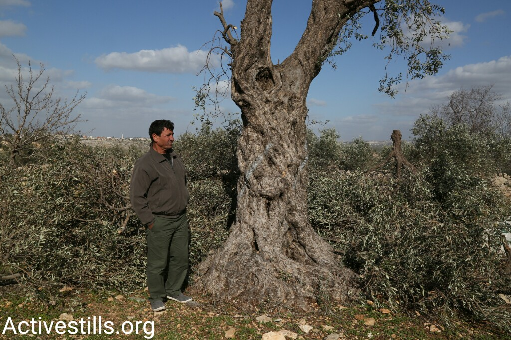 Husam Abu Hanieh stands beside an olive tree uprooted by Civil Administration contractors, as part of a plan to build a settler bypass road near the West Bank city of Qalqilya, January 8, 2017. (Keren Manor/Activestills.org)