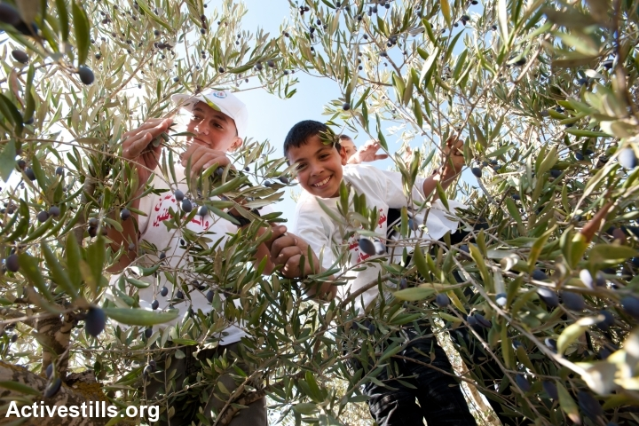 Volunteers organized by various solidarity groups join local residents in harvesting olives in groves in the village of Walajeh, West Bank, October 14, 2011. (Ryan Rodrick Beiler/Activestills.org)
