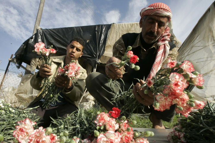 Palestinian farmers gather flowers in Rafah, in the southern Gaza Strip on December 10, 2009, after Israel granted special approval for the export of Palestinian flowers from Gaza to Europe. (Abed Rahim Khatib/Flash 90)