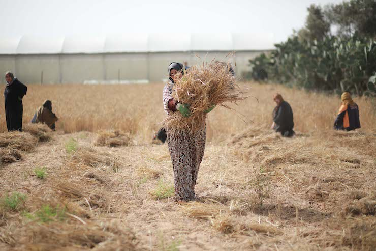 Palestinian women farmers collect wheat stalks during the annual harvest in a field in Khan Younis in the southern Gaza Strip, on April 27, 2019. (Hassan Jedi/Flash90)