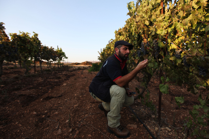An Israeli winemaker inspects the grapes in his vineyard in the West Bank settlement of Ofra, north of Ramallah (Kobi Gideon/Flash90).