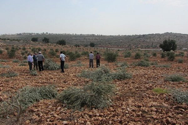 Destroyed olive trees belonging to the Radwan family from the West Bank village of Azun. (photo: 'Abd al-Karim Sa'adi/B'Tselem)