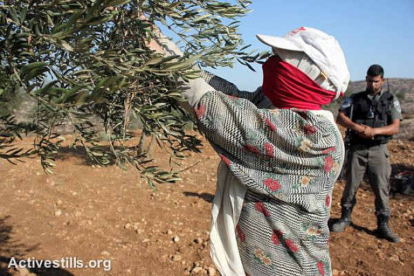 An Israeli soldier watches a Palestinian woman while she harvests olives in Salem village, near Nablus, West Bank, October 9, 2014.