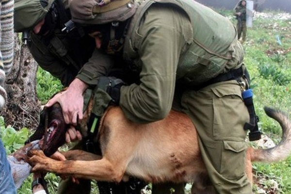 IDF attack dog refused to release his grip on Ahmad Shtawi's arm in Qaddun. (photo: PSCC)