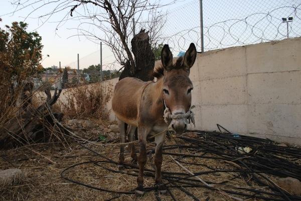 A Palestinian donkey (photo: Palestine Animal League)