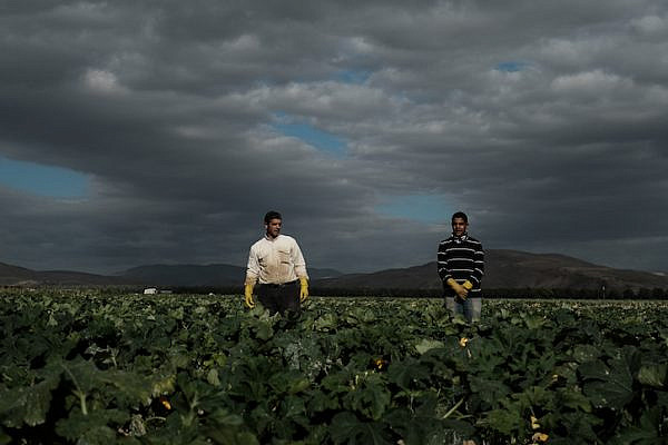 Palestinian workers seen harvesting squash at a field near Moshav Masua, in the Jordan Valley, by the Israeli-Jordanian border. January 08, 2017. Photo by Yaniv Nadav/FLASH90