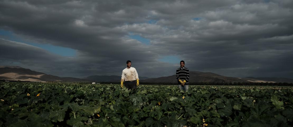 Palestinian workers seen harvesting squash at a field near Moshav Masua, in the Jordan Valley, by the Israeli-Jordanian border. January 08, 2017. Photo by Yaniv Nadav/FLASH90