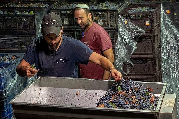 Israeli Jewish workers work at Beit El winery located in the Jewish settlement of Beit El, in the West Bank on September 4, 2019. (Hillel Maeir / Flash90)