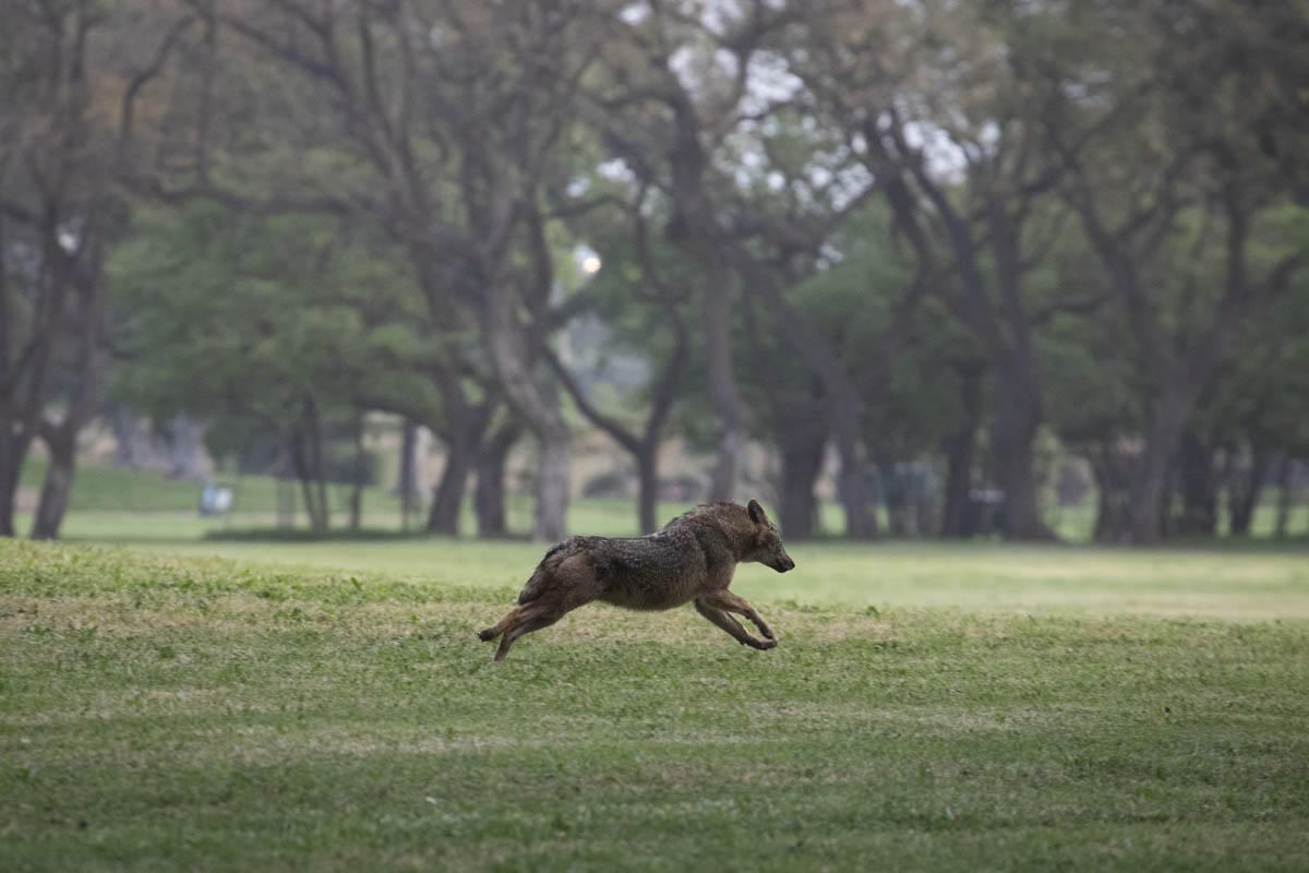 A jackal running in Tel Aviv's Yarkon Park, April 7, 2020. Many animals could be spotted in public areas with the slowdown of human traffic due to government orders to shelter at home. (Oren Ziv)