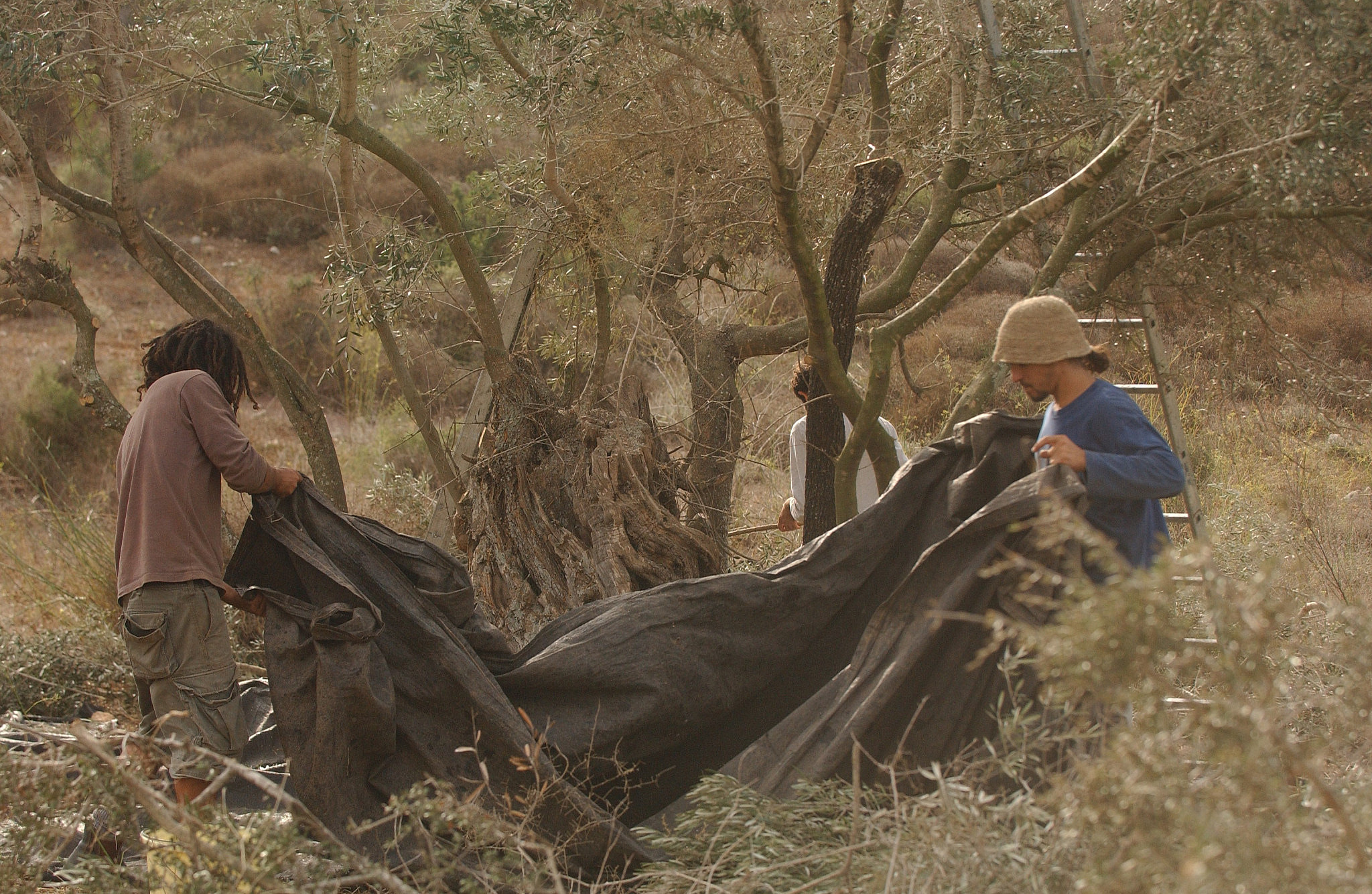 Illustrative photo of olive harvesting in Tzippori. (Yossi Zamir/Flash90)