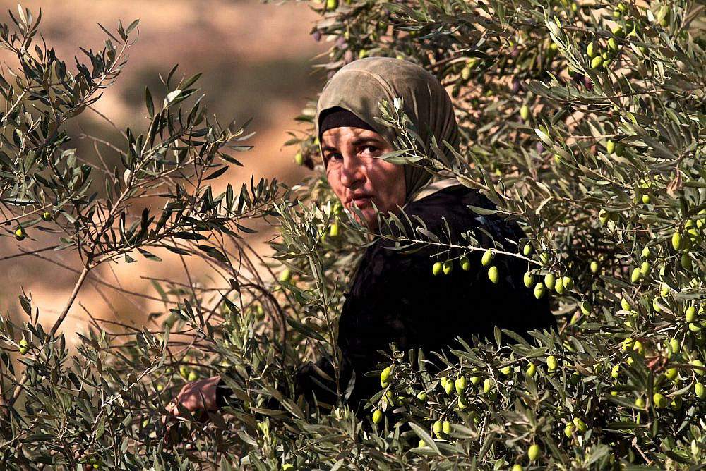 A Palestinian woman picks olives outside Bethlehem, West Bank, October 6, 2011. (Doron Horowitz/Flash90)