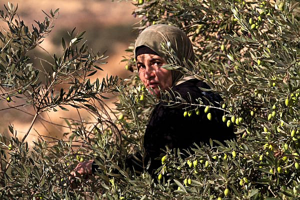 A Palestinian woman picks olives outside Bethlehem, West Bank, October 6, 2011. (Doron Horowitz/Flash90)