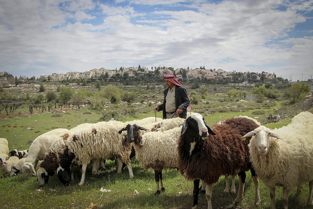 A Palestinian shepherd near the Israeli settlement of Efrat. March 22, 2017. (Gershon Elinson/Flash90)