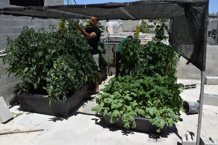 ARIJ's roof gardens project has become even more successful than its land-based predecessor, with Palestinians growing cucumbers, tomatoes, cauliflower, and more. (Courtesy of Nader Hrimat)