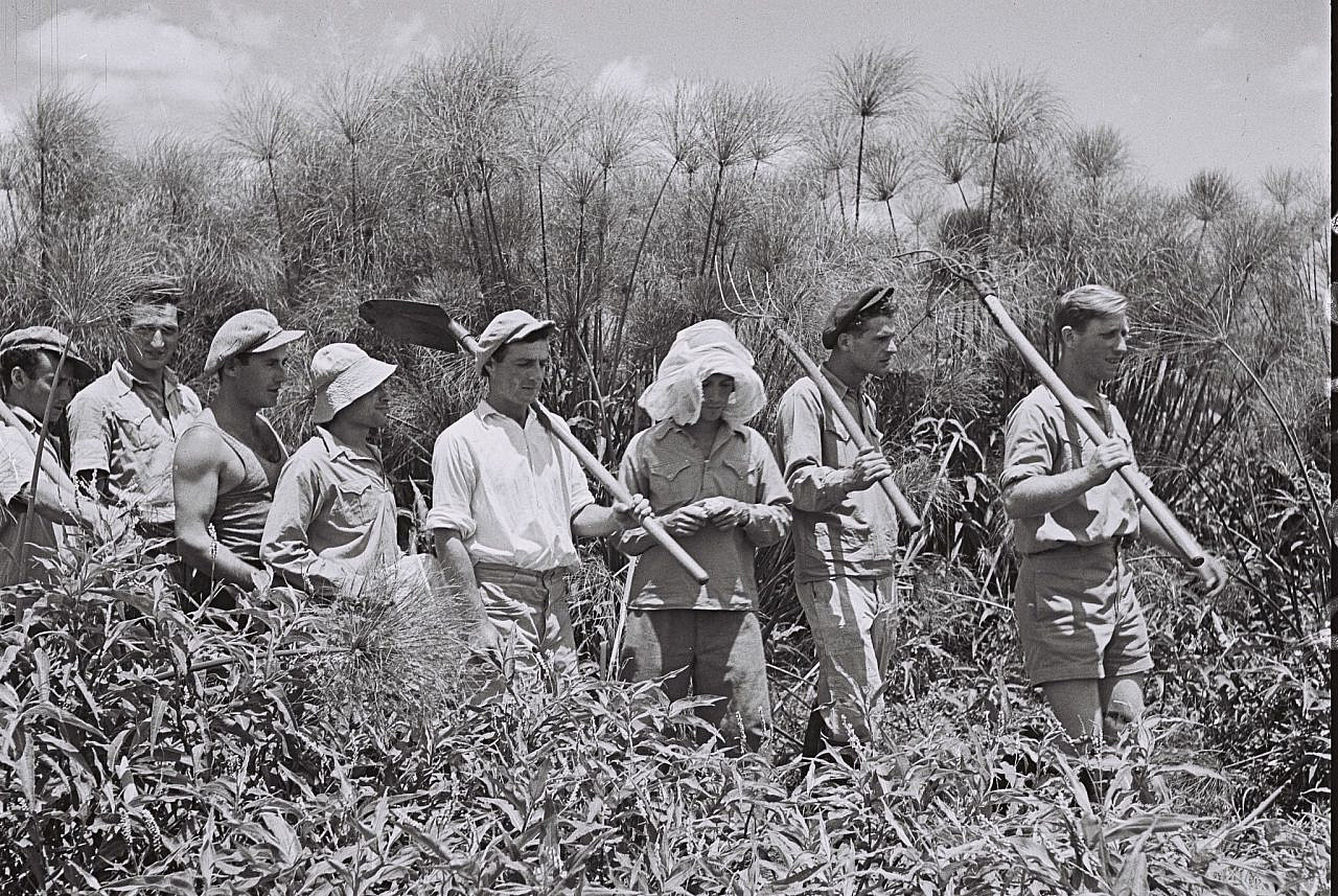 Members of Kibbutz Amir working in the Papyrus thicket of the Hula Swamps, June 30, 1940. (Kluger Zoltan/GPO)