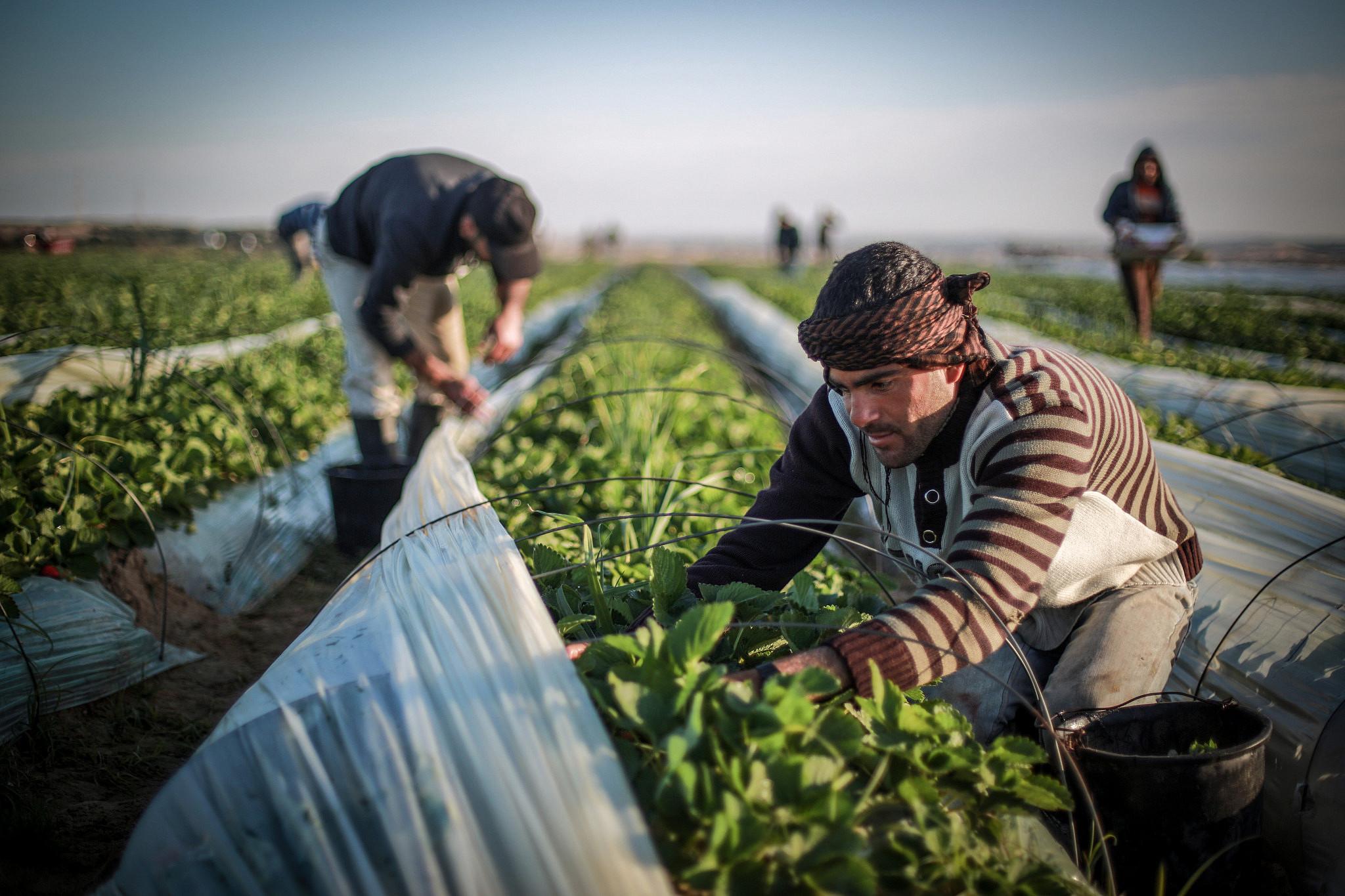 Palestinians harvest strawberries in a field in Beit Lahia, northern Gaza Strip, Dec. 30, 2015. (Emad Nassar/Flash90)