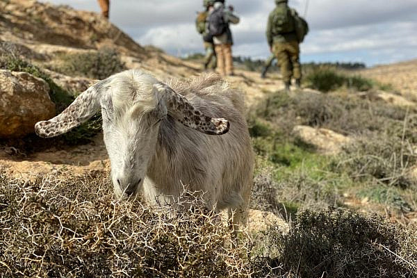 A goat grazing on the hills outside the village of Tuba in the West Bank, while Israeli soldiers demand a Palestinian shepherd and his herd return home, Jan. 30, 2021. (Natasha Westheimer)
